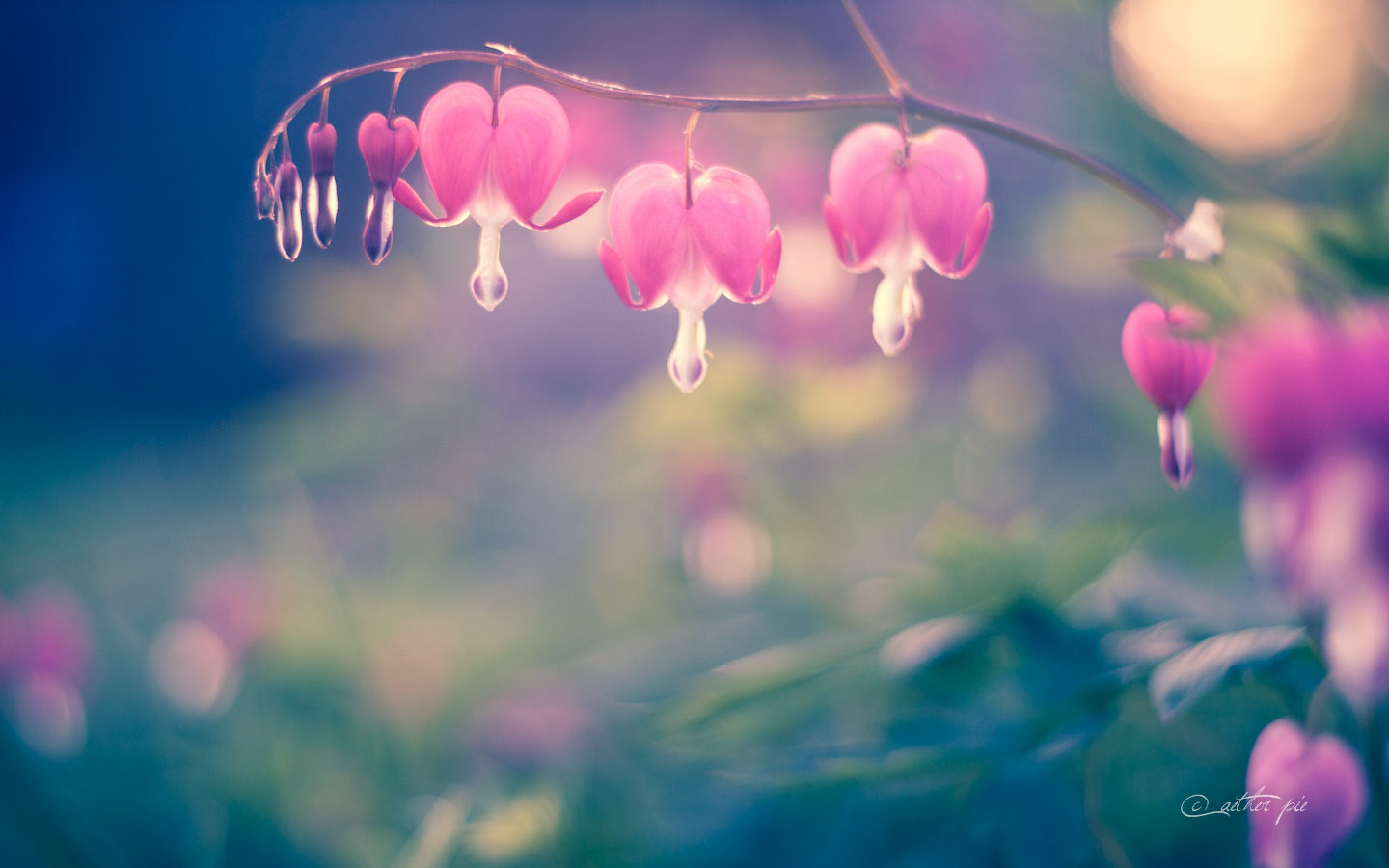 Bleeding-Hearts-wallpaper_byAEtherPie