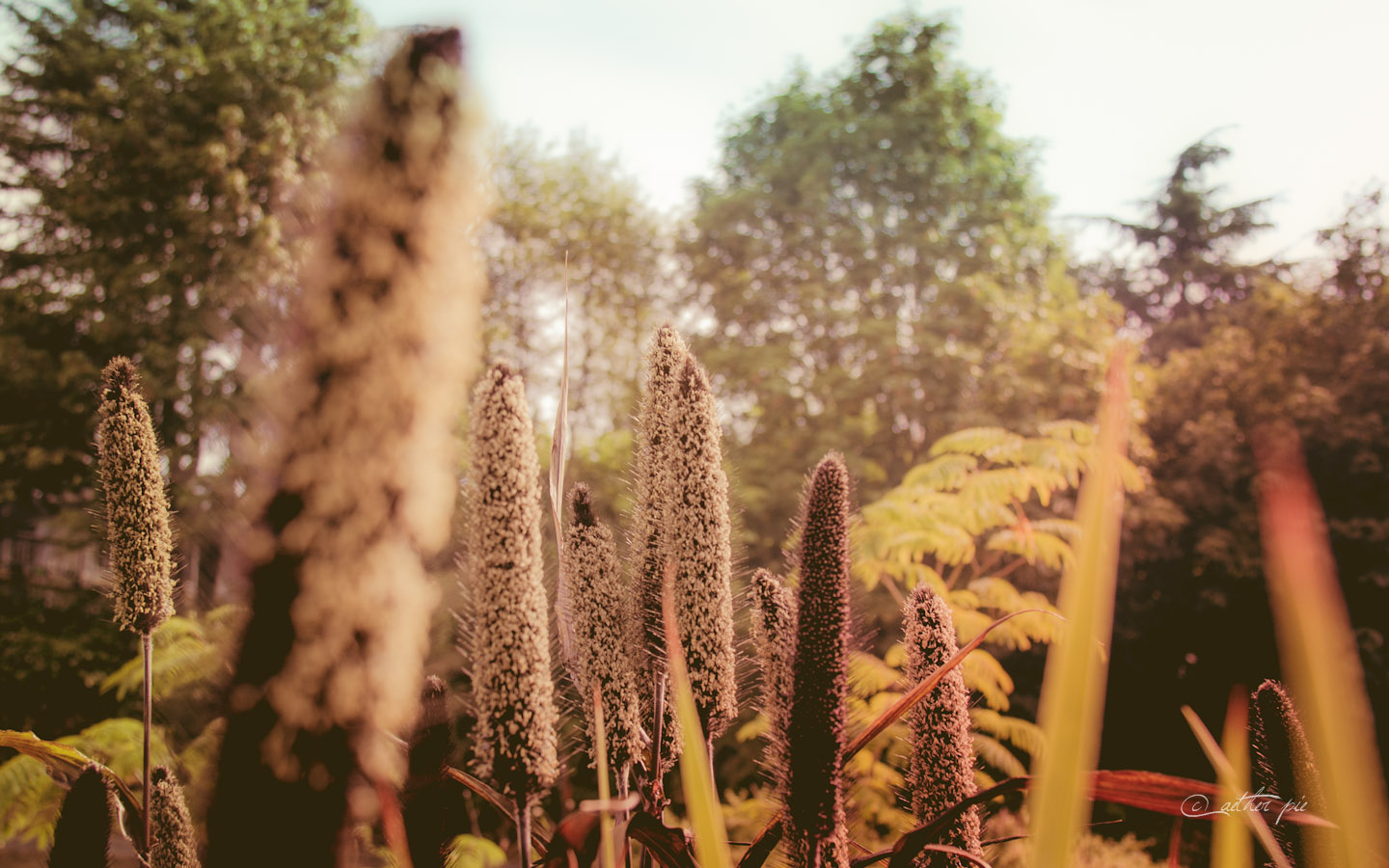 Cattails-wallpaper_byAEtherPie