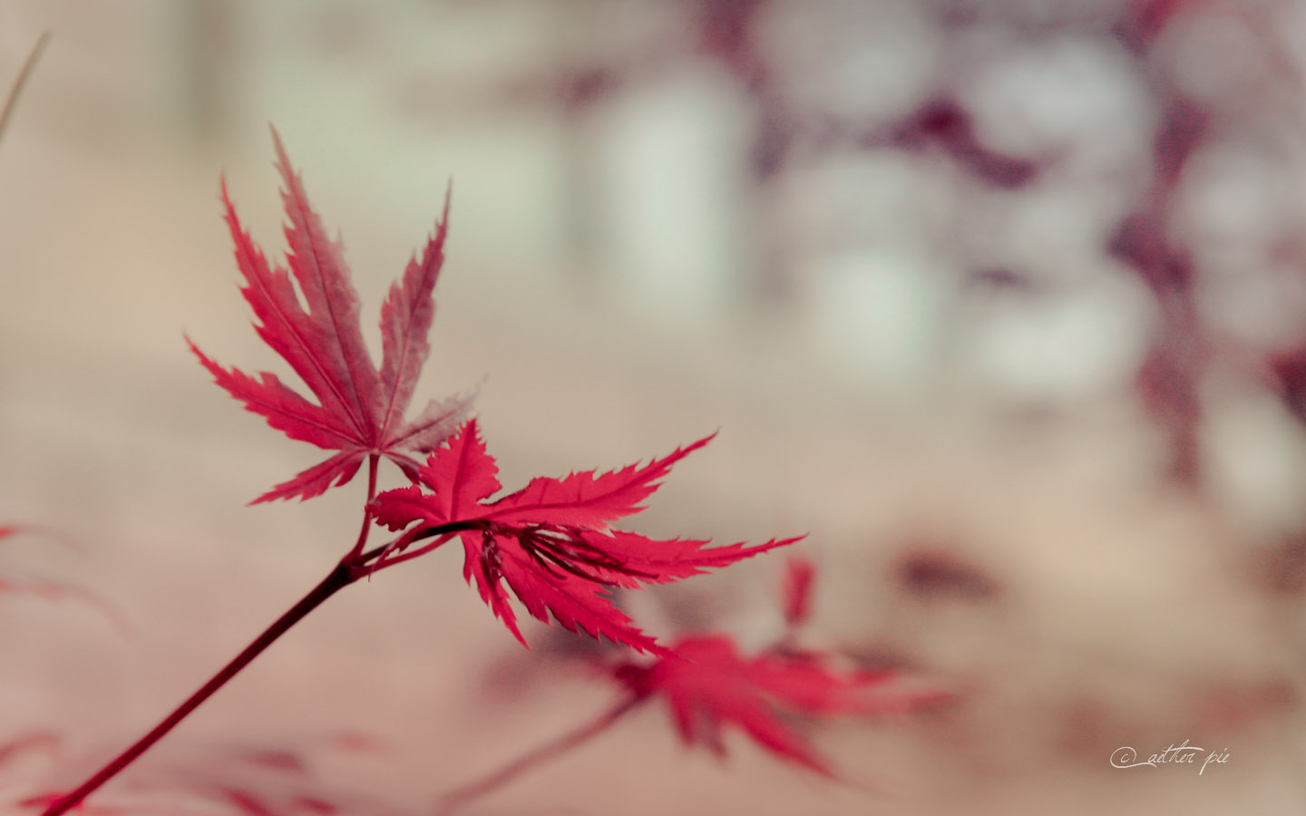 Japanese-Maple-wallpaper_byAEtherPie
