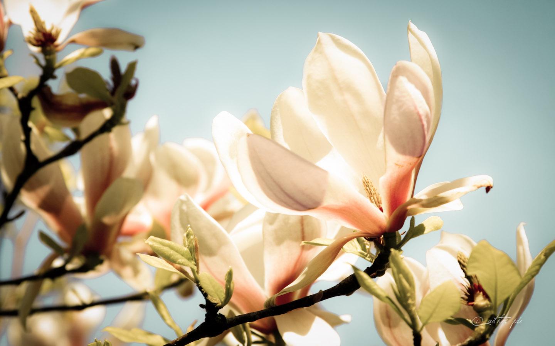 Magnolia-Glow-wallpaper_byAEtherPie
